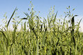 Field of green growing oats Royalty Free Stock Photo