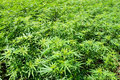 Field of green marijuana (hemp) Royalty Free Stock Photo