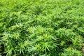 Field of green marijuana (hemp) Royalty Free Stock Photo