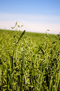 Field of green oats, Royalty Free Stock Photo