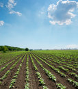 Field with green shots of sunflower Royalty Free Stock Photo