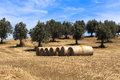 Field of harvest wheat and straw bale Royalty Free Stock Photo