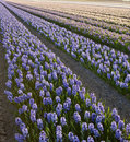 Field of hyacinths Royalty Free Stock Photo