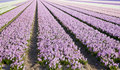 Field of hyacinths Stock Photography