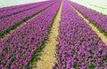 Field With Hyacinths