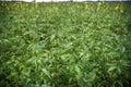 Field of industrial hemp in Estonia Royalty Free Stock Photo