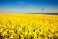 Colza field landscape Royalty Free Stock Photo