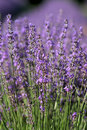 Field of lavender Royalty Free Stock Photos