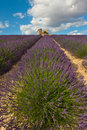 Field of lavender with house ruins in provence france Stock Photos