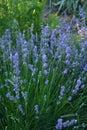 Field of Lavender, Lavandula angustifolia, Lavandula officinalis Royalty Free Stock Photo