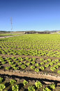 Field with lettuces plantation Stock Photo