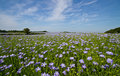 Field of Linseed or Flax in flower Stock Photos