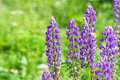 Field of lupine flowers Stock Photography