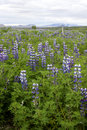 Field of Lupines Royalty Free Stock Photo
