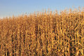 Field maize Royalty Free Stock Image