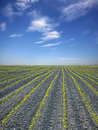 Field of maize and the sky in spring Stock Photo
