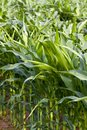 Field of maize in the summer Stock Photos