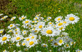 Field with many flowers daisies Royalty Free Stock Photo