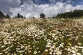 Field of many white daisies and other wild flowers Royalty Free Stock Photo