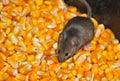 Field mice four eating corn grain on the farm Stock Image