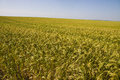 Field with millet crop agricultural big of Royalty Free Stock Photo