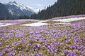 Field of mountain crocuses colourful flowers on the background landscape Royalty Free Stock Images