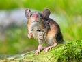Field Mouse (Apodemus Sylvatic...