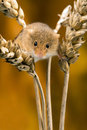 Field mouse in ears of wheat against a golden background Stock Photos