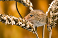 Field mouse in ears of wheat against a golden background Royalty Free Stock Photography