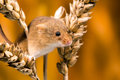 Field mouse in ears of wheat against a golden background Royalty Free Stock Images