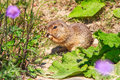 Field Mouse In The Wild