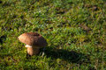 Field mushroom a lone sitting in a casting a shadow across the grass Royalty Free Stock Photo