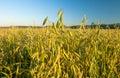 Field of oat Royalty Free Stock Photo