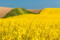 Field with oilseed rape Royalty Free Stock Photo