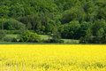 Field of oilseed rape canola with tree line in distance a Royalty Free Stock Images