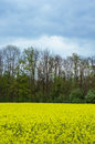 Field of oilseed rape Royalty Free Stock Photo