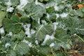 Field oilseed rape in winter. Royalty Free Stock Photo