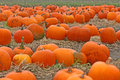 Field of orange pumpkins Royalty Free Stock Photo