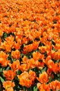 Field of orange tulips V