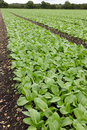 Field of pak choi or bok growing in a with drainage channels Royalty Free Stock Photos