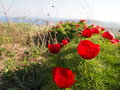 Field of peony flowers from crimean mountains ukraine Stock Photos