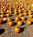 Field of Perfect Pumpkin