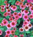 Field of pink echinacea coneflowers in bloom Royalty Free Stock Photo