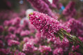 Field of pink flowers, summer. fall background nature landscape Royalty Free Stock Photo
