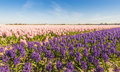 Field with pink and purple blooming Hyacinth bulbs Royalty Free Stock Photo