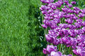 Field pink tulips green grass Stock Images