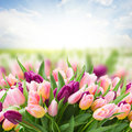 Field  of pink and violet tulips Royalty Free Stock Photo