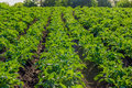 Field with plantation of potatoes Royalty Free Stock Photo
