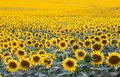 Field with plenty of blossoming sunflowers Royalty Free Stock Photo