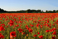 Field with poppies Royalty Free Stock Photography